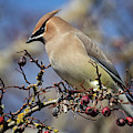 Cedar Waxwing by Randy Hall
