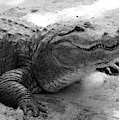 Charming Gator Black And White by Carol Groenen