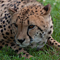 Cheetah 01 by Chris Flees