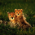 Cheetah Acinonyx Jubatus With Cubs In by Art Wolfe