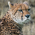Cheetah by Arterra Picture Library