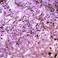 Cherry Blossom Flowers by Nicklas Gustafsson