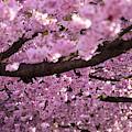 Cherry Blossom Tree Panorama by Nicklas Gustafsson