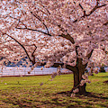 Cherry Blossom Trees by Rima Biswas
