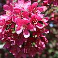 Cherry Blossoms 2019 Iv by Darren Dwayne Frazier