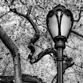 Cherry Blossoms At Central Park Nyc Bw by Susan Candelario