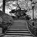 Cherry Blossoms In Central Park Nyc Bw by Susan Candelario