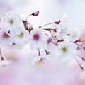 Cherry Blossoms In Pastel Pink by Anita Pollak