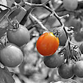 Cherry Tomatoes Partial Color by Smilin Eyes  Treasures
