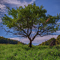 Cherry Tree At Cloudland Farm by Rick Berk