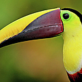 Chestnut Mandibled Toucan by Photography By Jean-luc Baron