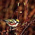 Chestnut-sided Warbler by Debbie Stahre