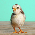 Chick On Wood by Retales Botijero