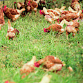 Chickens by Rob D Imagery