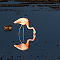 Chilean Flamingo Reflections by James Brunker