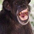 Chimp With Mouth Open by Josh Silver