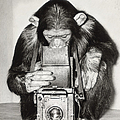 Chimpanzee Looking Through Vintage Box by Fpg