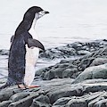 Chinstrap Penguin On A Rock By Alan M Hunt by Alan M Hunt