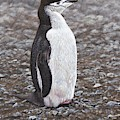 Chinstrap Penguin Portrait By Alan M Hunt by Alan M Hunt
