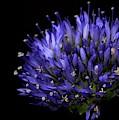 Chives Flower by Mark Starren