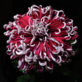 Chrysanthemum 'lilli Gallon' by Ann Jacobson