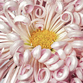 Chrysanthemum Satin Ribbon by Ann Jacobson