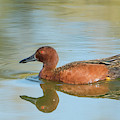 Cinnamon Teal Duck 7151-041519 by Tam Ryan