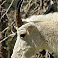 Classic Glacier National Park Mountain Goat by Bruce Gourley