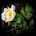 Climbing Yellow Rose 2 by Julie Palencia