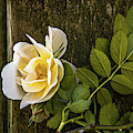 Climbing Yellow Rose by Julie Palencia