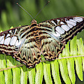 Clipper Butterfly 6393-040619 by Tam Ryan