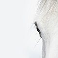 Close Up Of A Welsh Mountain Pony by Andrew Bret Wallis