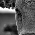 Close-up Of Cow by Lip