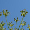 Close Up Of Fennel Flowers. On Sky Background by Elisabetta Poggi