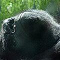 Close-up Of Frowning Adult Mountain Gorilla by DejaVu Designs