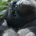 Close-up Shot Of Silverback Gorilla Making An Angry Face by DejaVu Designs