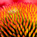 Closeup Of Flower Echinacea Purpurea by Miloussk