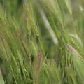 Closeup Of Hayseed Heads - Wild Grasses Of Utah by Colleen Cornelius