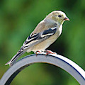 Closeup Of Goldfinch by Carol Groenen