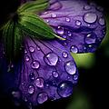 Closeup Of Purple Flower by Florence Barreau