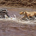 Closing In - Lion Chasing A Zebra by Alan M Hunt