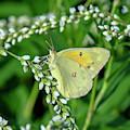 Clouded Sulphur Butterfly Din0275 by Gerry Gantt