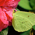 Cloudless Sulphur by Rafael De Armas