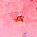 Clownfish In Corals by Yusuke Okada/a.collectionrf