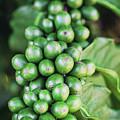 Coffee Berries by Scott Pellegrin