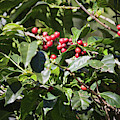 Coffee Plant In Boquete, Panama by Tatiana Travelways