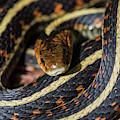 Coiled Garter Snake by Robert Potts