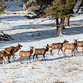 Cold Winter Morning Elk Herd by Steve Krull