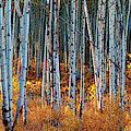 Colorado Autumn Wonder Panorama by OLena Art Brand