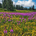 Colorado Purple Lupine Near Steamboat Springs by Dave Dilli